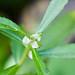 Proserpinaca palustris Emersed