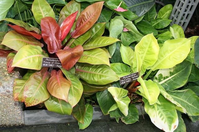 (Philodendron) 'Prince of Orange' 'McColley Yellow ...