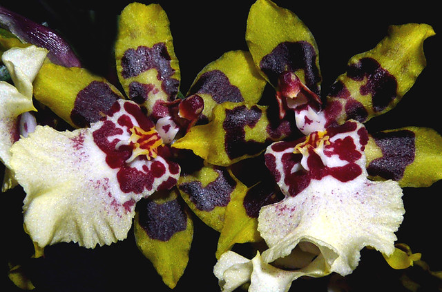 Colmanara Wildcat 'Yellow Butterfly' hybrid orchid   Flickr - Photo ... Yellow Butterfly Orchid