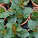 Plantas de Dipladenia sanderii