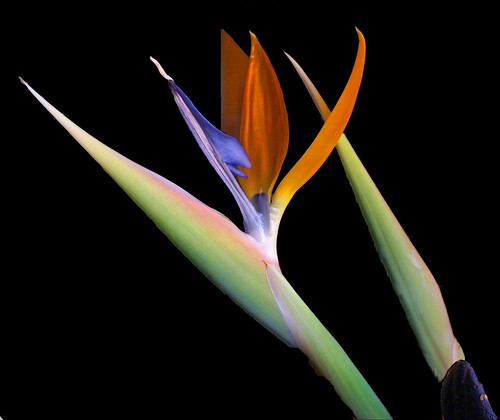 my bird of paradise in black