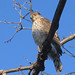 Sharp-shinned Hawk - Photo (c) David Allen, some rights reserved (CC BY-NC-SA)