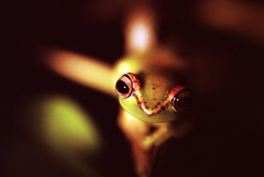 115_Frog, Boophis sp. aff. rappiodes