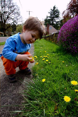 very excited that he has permission to pick any dandelion, anywhere, any time    MG 2106