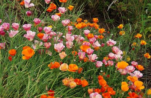 Eschscholzia californica - California Poppy [horticultural cultivars]
