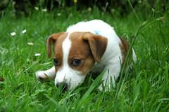 dog breed(1.0), animal(1.0), danish swedish farmdog(1.0), puppy(1.0), dog(1.0), grass(1.0), pet(1.0), parson russell terrier(1.0), russell terrier(1.0), carnivoran(1.0), jack russell terrier(1.0), terrier(1.0),