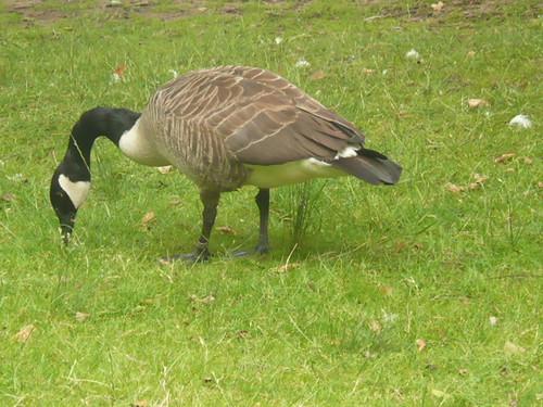Canada Goose ,Richmond Park,London