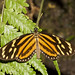 Tropical milkweed butterfly - Photo (c) Bill Bouton, some rights reserved (CC BY-NC)