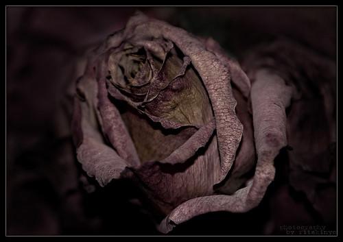 flower macro rose nikon pennsylvania passing d200 virág montgomerycounty nikond200 rózsa macrophotosnolimits elmúlás