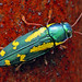 Red-legged Metallic Wood Boring Beetle - (Buprestis rufipes) by Thomas Shahan