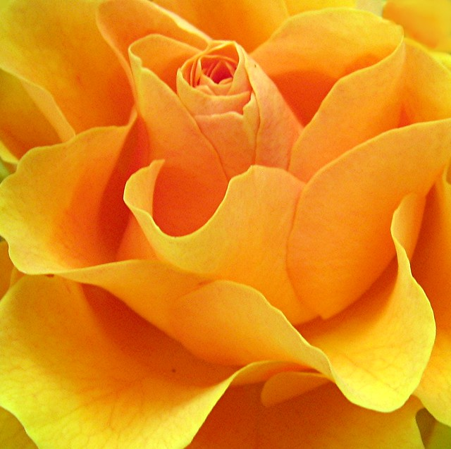 Golden Rose Flower Golden Rose Flower Golden Rose
