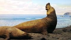 Northern sea lions