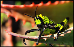 Grasshopper poker