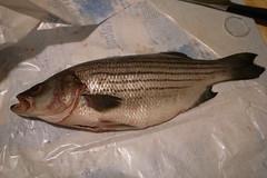 animal, bass, fish, fish,