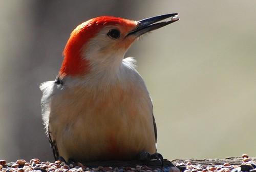 birds woodpecker florida sarasota redbelliedwoodpecker melanerpescarolinus goldwildlife theartistseyes thewonderfulworldofbirds michaelskelton michaeldskelton michaeldskeltonphotography