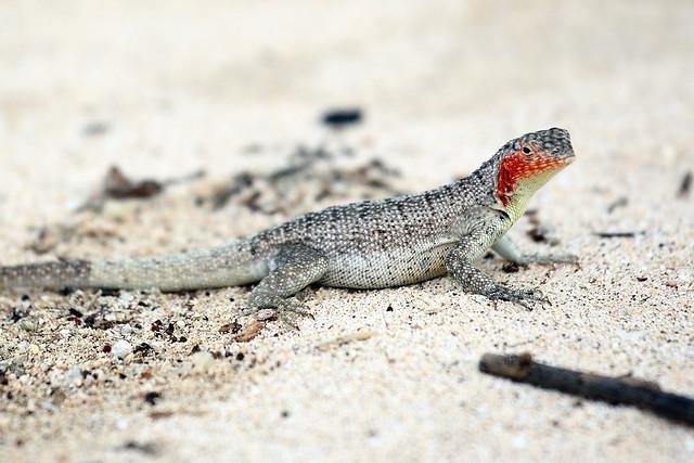 Lava Lizard, Santa Fe Island