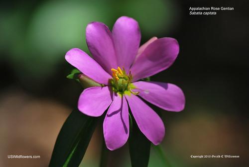 Appalachian Rose Gentian, Cumberland Rose Gentian - Sabatia capitata