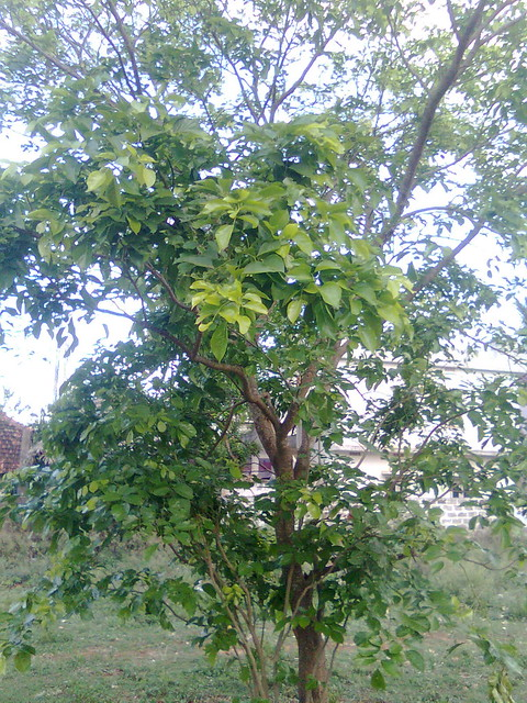 Ganuga Chettu - Kanuga Tree
