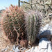 Cuddly cacti - baby Saguaro & barrel cactus -  side by side by Al_HikesAZ