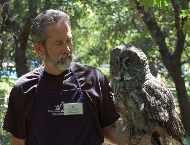 Great Gray Owl Strix nebulosa