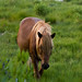 Assateague Island Horse
