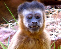 animal, monkey, tufted capuchin, mammal, fauna, old world monkey, new world monkey, wildlife,