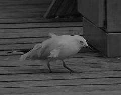 Scruffy Gull