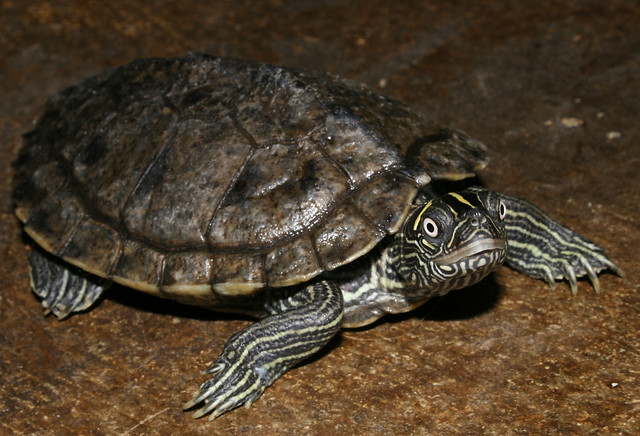 Mississippi Map Turtle | Flickr - Photo Sharing!