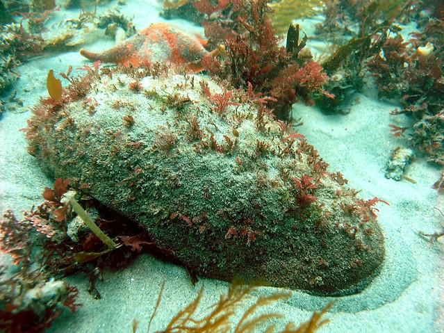 Gumboot Chiton ... Rocky Intertidal Zones