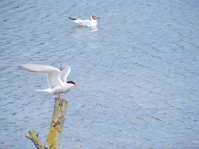 Common term & Black-headed gull