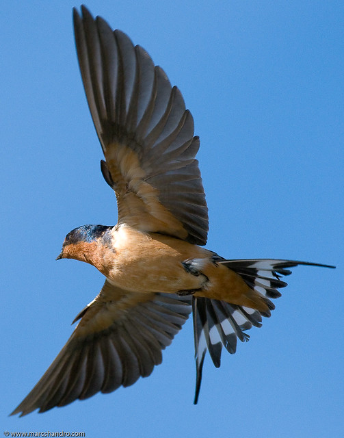 Barn Swallow In Flight License This Image On