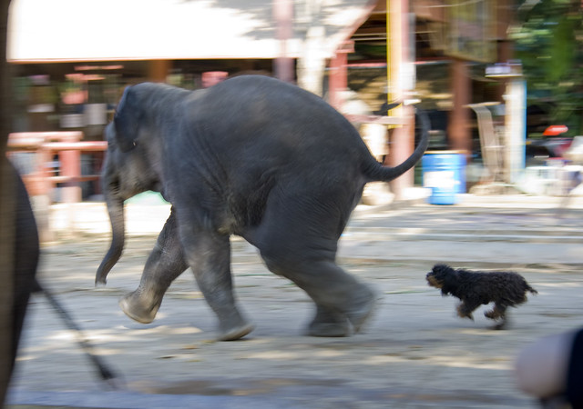 Elephantstay - Baby elephant chased by small dog ...