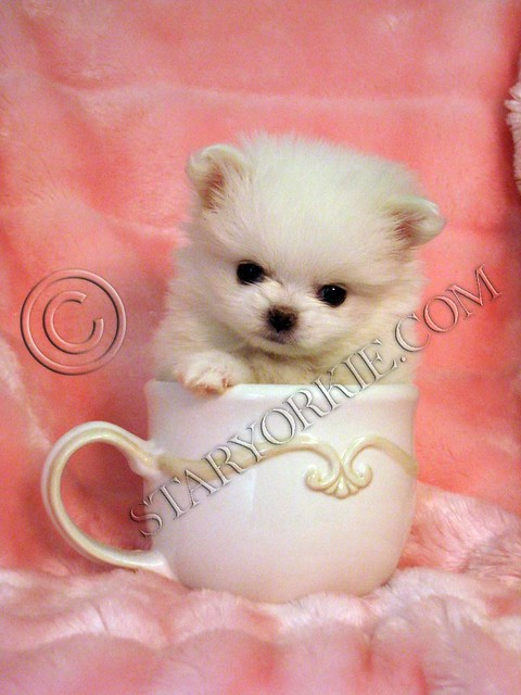 Miniature Teacup Pomeranian Puppies