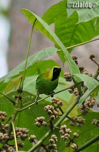 Daun Sayap Biru Bluewinged Leafbird