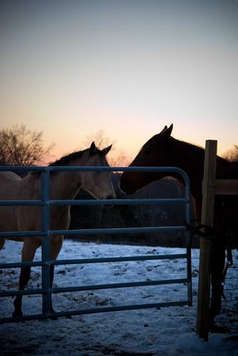 winter horses snow animals dusk fences sunsets ponies newyorkstate bb bedandbreakfast horsies hudsonvalley horsefarm rhinebeckny whistlewood