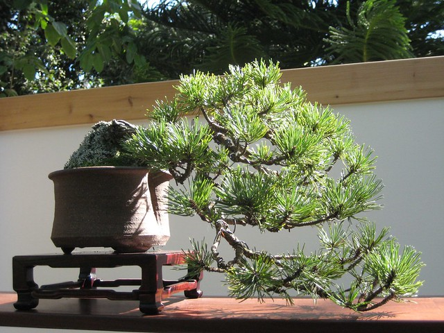 pine bonsai a gallery on flickr. Black Bedroom Furniture Sets. Home Design Ideas
