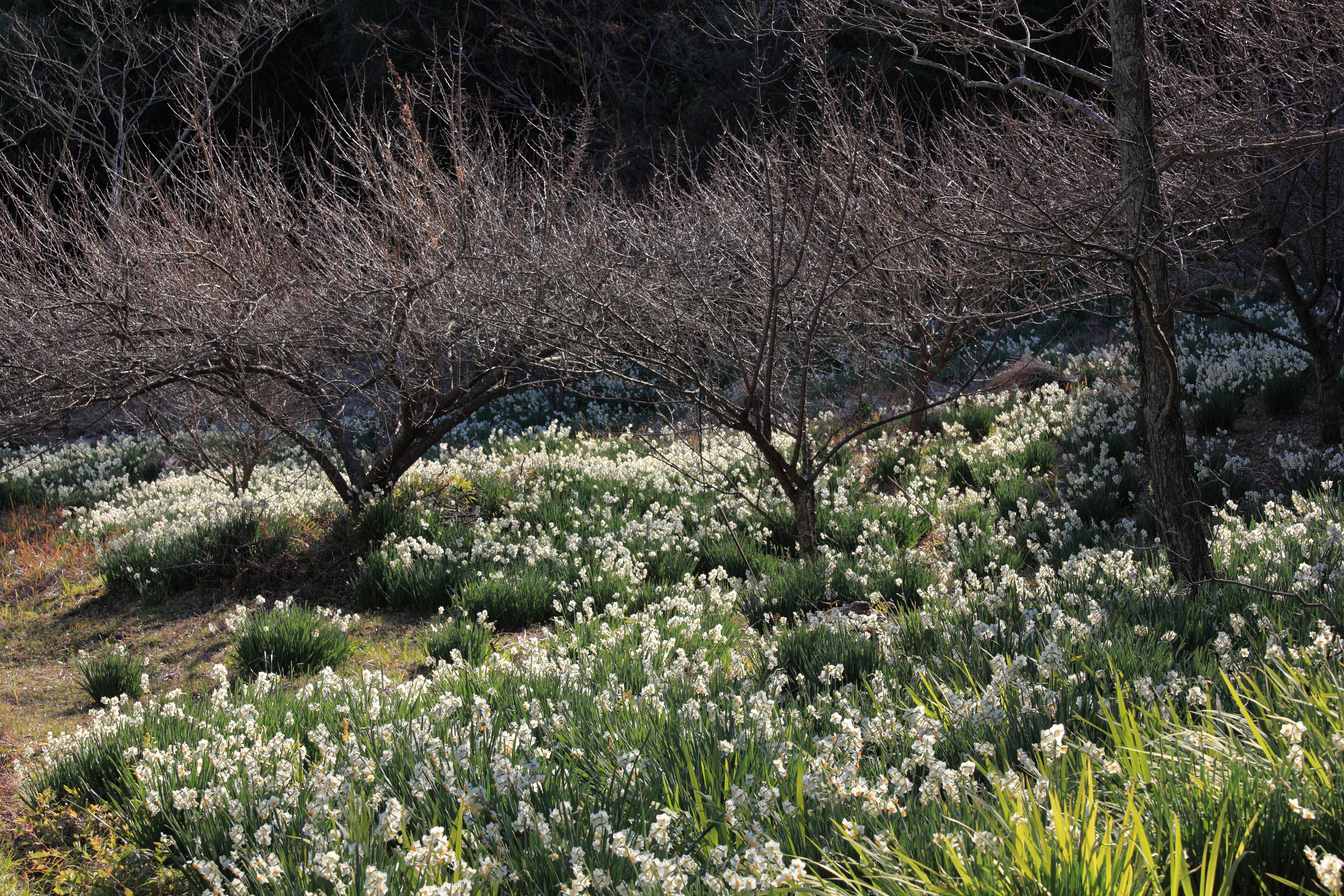 Daffodil / Narcissus / 水仙(スイセン)