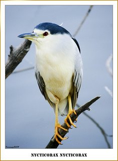 Martinet de nit 02 - Martinete - Night heron