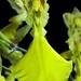 """Carenidium ottonis """"oculatum"""""""