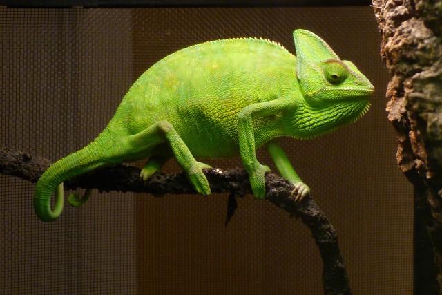Veiled Chameleon Skull images  Hdimagelib