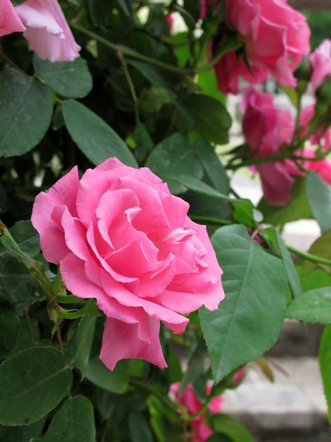 rose zephirine drouhin rose zephirine. Black Bedroom Furniture Sets. Home Design Ideas