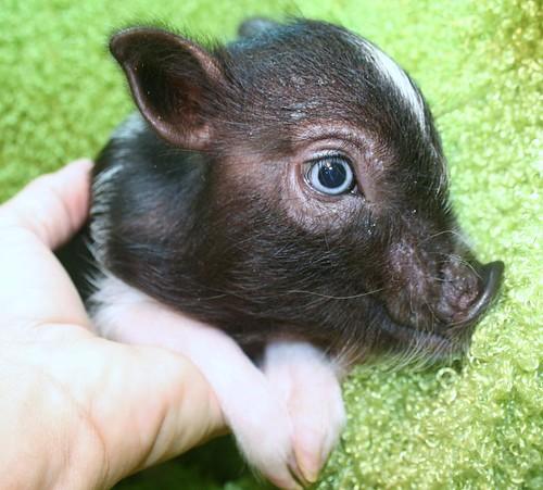 Pink Adult Teacup Pig MINIATURE TEACUP PIGS ...