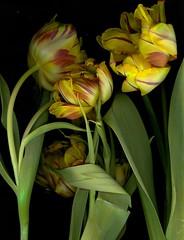 Сонник цветы желтые живые доставка цветов краснодра