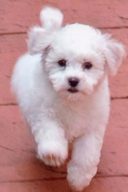 bichon_frise_04b_puppies_fo