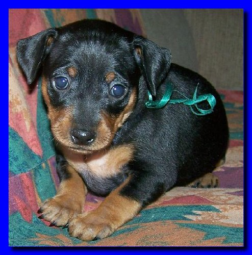 rust miniature doberman pinscher puppy picture 6 miniature pinscher ...