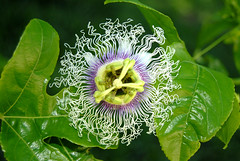 plant(0.0), giant granadilla(0.0), produce(0.0), flower(1.0), purple passionflower(1.0), macro photography(1.0), wildflower(1.0), flora(1.0), close-up(1.0), passion fruit(1.0),