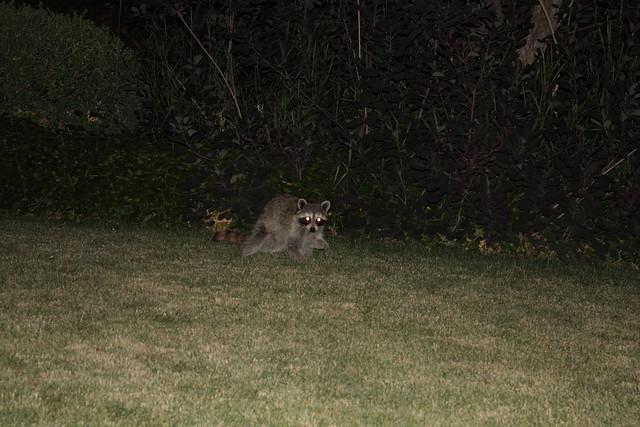 backyard raccoon at night flickr photo sharing