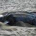 A leatherback turtle covering her eggs, Turtle Beach, Tobago (Movie/Video)