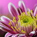 Chrysanthemum Detail