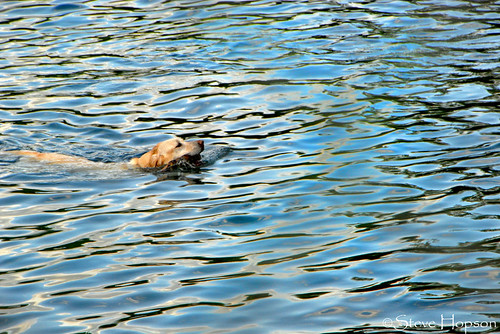 Swimming dog at Barton Creek